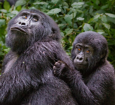 Gorilla Mama und Kind bei einer Trekking-Tour