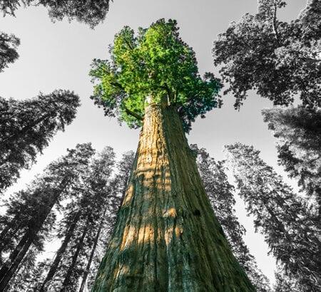 Ein Mammutbaum mit grüner Krone.