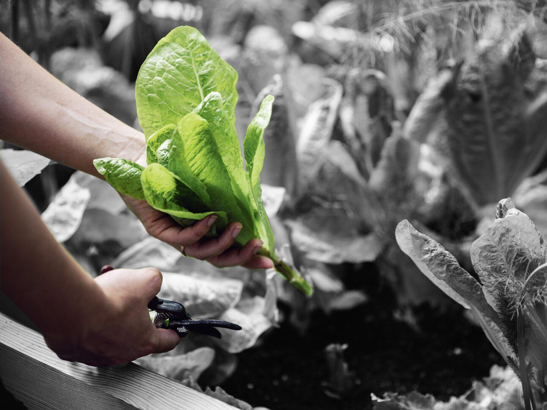 Gemüse ernten im Hochbeet